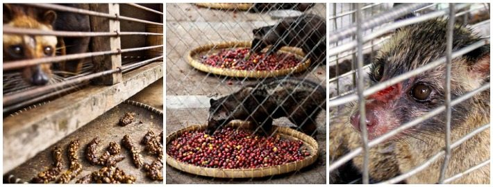 Civet cats in captivity living in appalling conditions and being force-fed ripe red coffee cherries