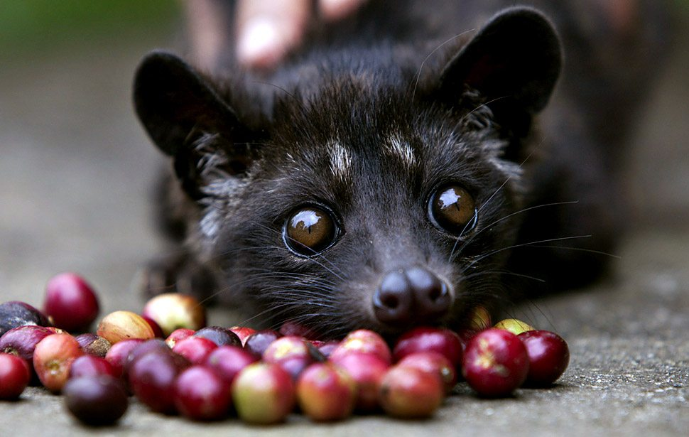 Baby Luwak tempted by red coffee cherries