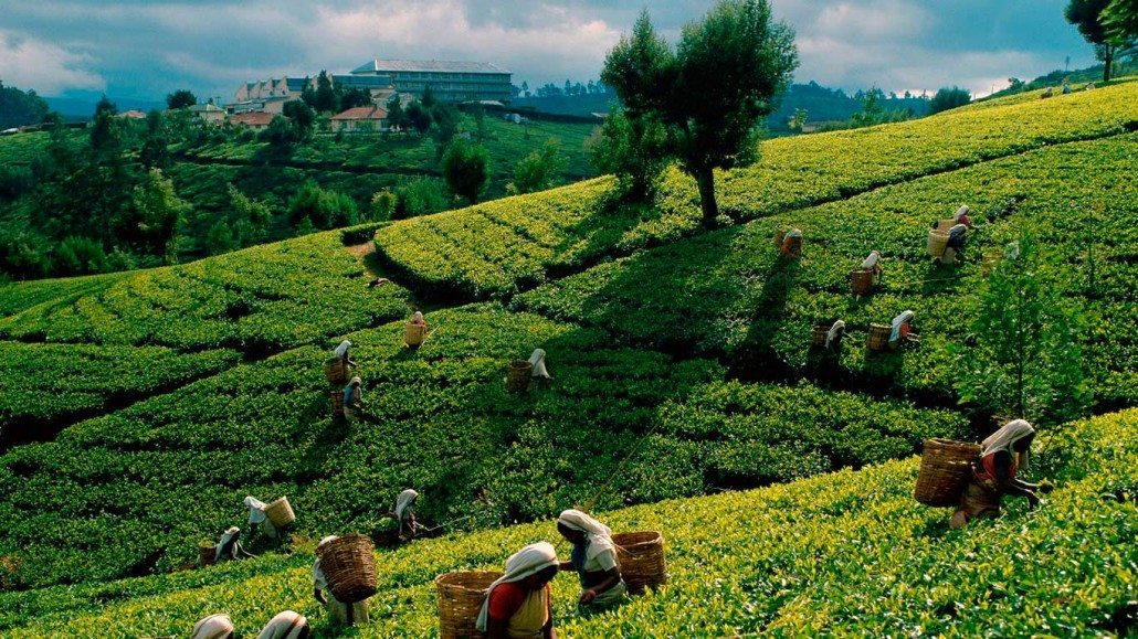 estate workers picking tea leaves by hand