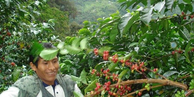 Man from Peru picking coffee beans