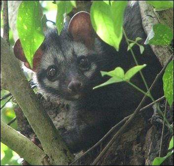 Wild civet cat in its natural habitat