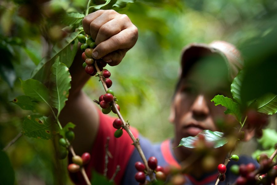 Oscar Alarcon harvests coffee in Socorro, Colombia, on Thursday, Sept. 23, 2010. Photographer: Dennis Drenner/Bloomberg