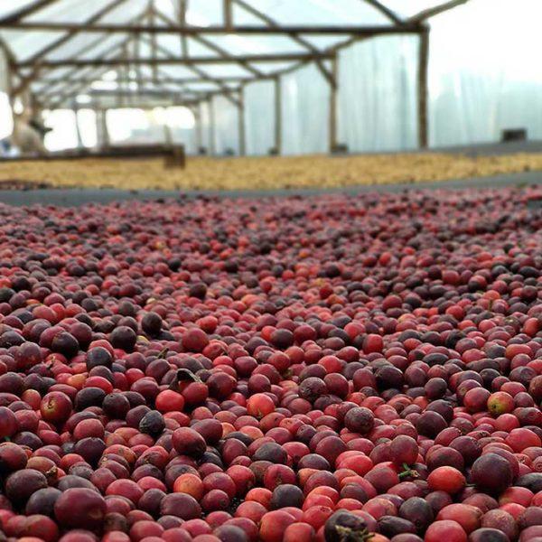 Brazil Fazendas Dutra coffee cherries ready for processing